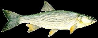 Balin (Aspius aspius) 40 cm.