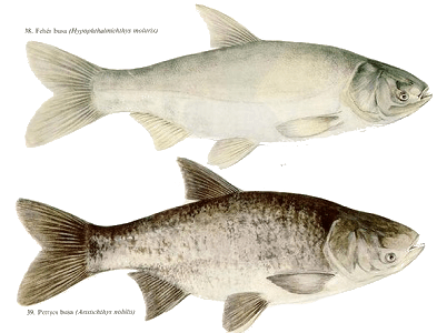Fehér busa (Hypophthalmichthys molitrix) pettyes busa(Hypophthalmichthys nobilis)