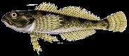 Kölönte szám (Cottus poecilophus)