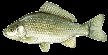 Ezüstkárász (Carassius auratus)
