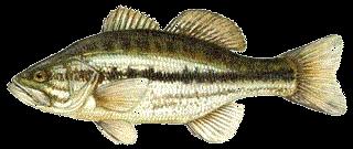 Fekete sügér (Micropterus salmoides) 30 cm.