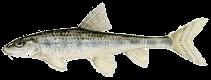 Halványfoltú küllő (Gobio albipinnatus)