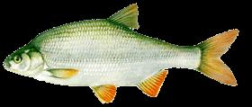 Jász-keszeg (Leuciscus idus)