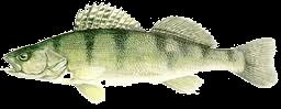 Kõsüllõ (Stizostedion volgense) 20 cm