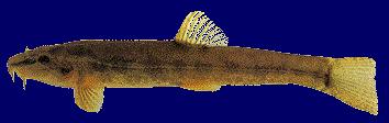 Kövi csík (Neomachelus barbatulus)