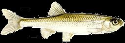 Kurta baing (Leucaspius delineatus)