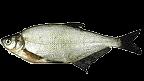 Lapos keszeg (Abramis ballerus)