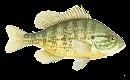 Naphal (Lepomis gibbosus)