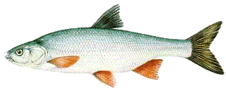 Paduc (Chondrostoma nasus)