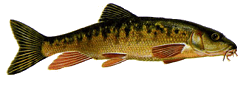 Petényi-márna (Barbus meridionalis petényi)