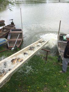 horgásztó-ponty-telepítés