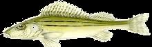 Selymes durbincs (Gymnocephalus schraetzer)