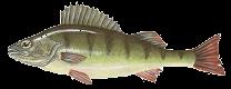 Sügér (Perca fluviatilis)