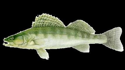 Süllõ (fogassüllõ) (Stizostedion lucioperca)