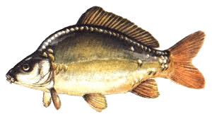 Ponty (Cyprinus carpio) tükör