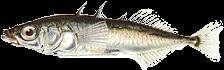 Tüskés pikó (Gasterosteus aculeatus)