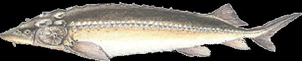 Vágótok (Acipenser gueldenstaedti)