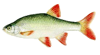 Vörösszárnyú keszeg (Scardinius erythrophthalmus)